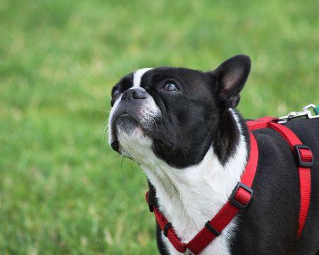 black and white Boston Terrier wearing a red harness Archivio Fotografico