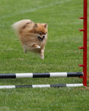 tiny gold pomeranian flies over an agility jump