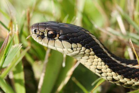 macro of common garter snake in the grass