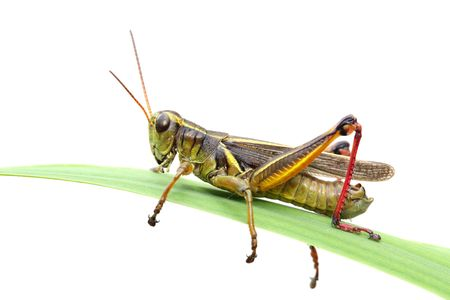 macro image of grasshopper on blade of grass over white background