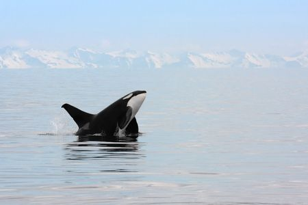 killer whale: Killer Whale breaching in Prince William Sound Alaska