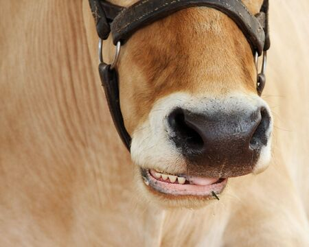 close up of cow chewing its cud with selective focus on nose and mouth. Stock Photo