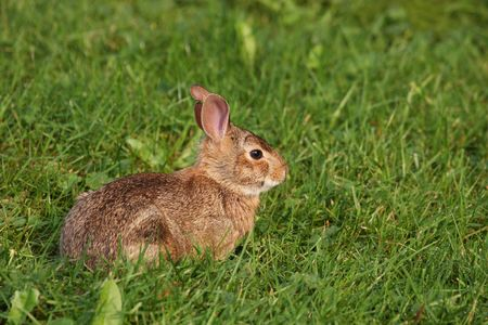 leporidae: wild brown rabbit lying in the grass