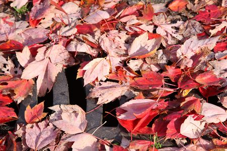accumulation: fallen leaves covering a storm drain that need to be cleared