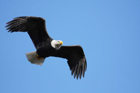 majestic adult bald eagle flying with wings slightly bent