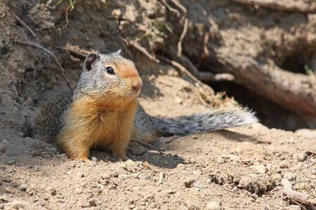 crouched: Columbian Ground Squirrel crouched on the ground outside its burrow