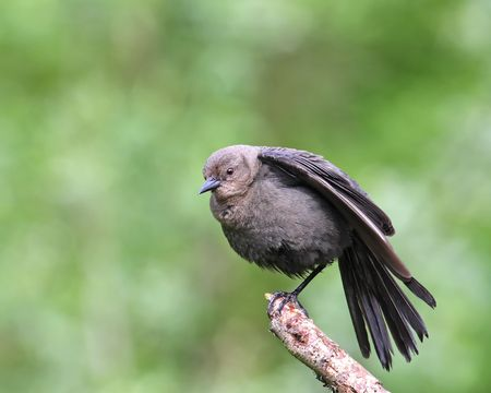 fanned: juvenile Brewers blackbird perched on branch with tail fanned out Stock Photo