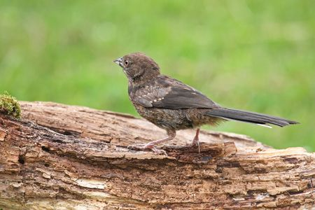 spotted: Juvenile Spotted Towhee perched on a log loooking away Stock Photo