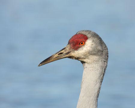 sandhill crane: portrait of wild Sandhill Crane