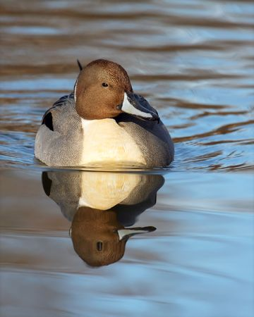 Male Northern Pintail duck swimming towards the viewer with nice reflection
