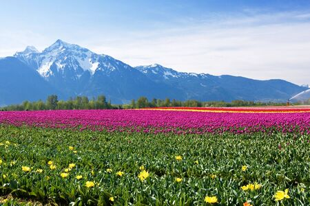 scenic image of a field of tulips with mountain background Stock Photo