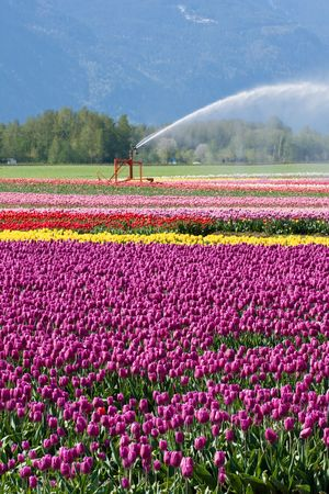 irrigated: vertical composition of colourful tulip fields being irrigated by a large sprinkler. shallow depth of field Stock Photo