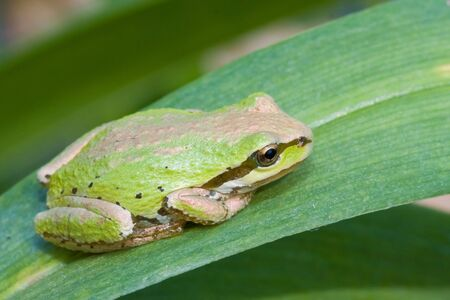 Pacific tree frog (aka pacific chorus frog) resting on leaf