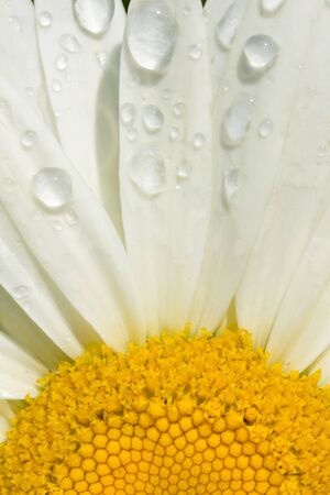 shasta daisy: close-up image of Shasta daisy with raindrops on the petals
