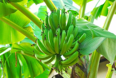 Bunch of green bananas on tree photo