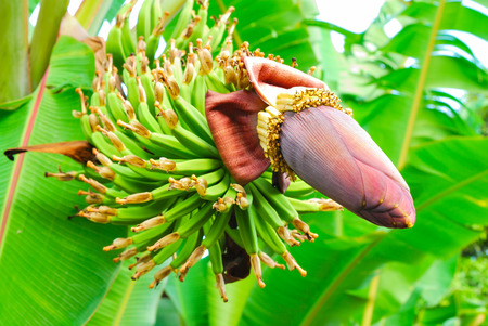 Bunch of green bananas on tree photo