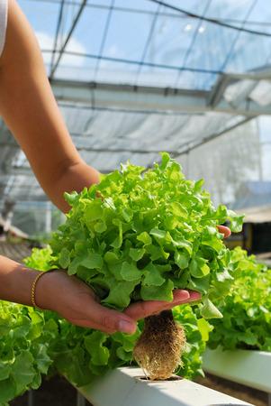 Red oak, green oak, cultivation hydroponics green vegetable in farm photo