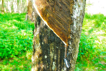 caoutchouc: Old rubber tree , rubber and caoutchouc , rubber tapping Stock Photo