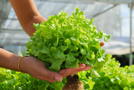 Red oak, green oak, cultivation hydroponics green vegetable in farm Stock Photo
