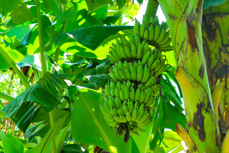 Bunch of green banana on tree photo