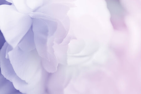 sweet color carnation in soft style for background photo