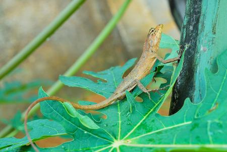 Thai native lizard or chameleon photo