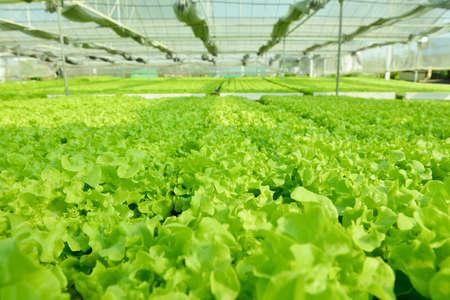 oak: Red oak, green oak, frillice iceberg , cultivation hydroponic green vegetable in farm plant market Stock Photo