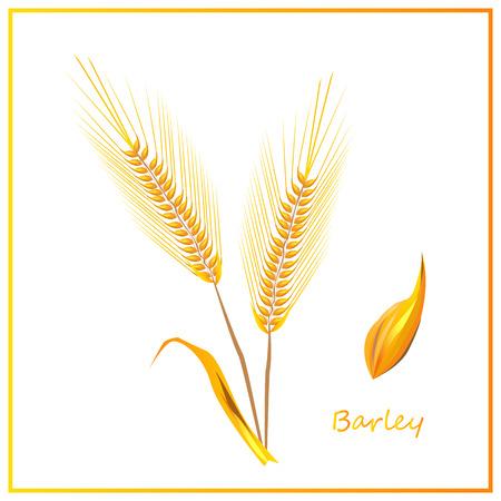 winter wheat: Barley ears of wheat in vector illustration