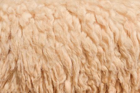 furry stuff: Wool sheep in farm closeup for background