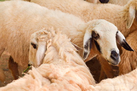 sheep eye: Close up Sheep in farm focus on sheep eye