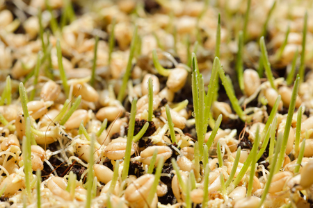 barley malt: germinated seeds of barley - malt