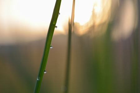 clave sol: Soft defocused Fresh green grass and grass flower with water drops in fresh morning sun rise in low key