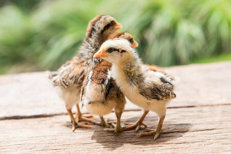 Babies chick, Little chicken,Rearing small chicks. Poultry farming. Agriculture.