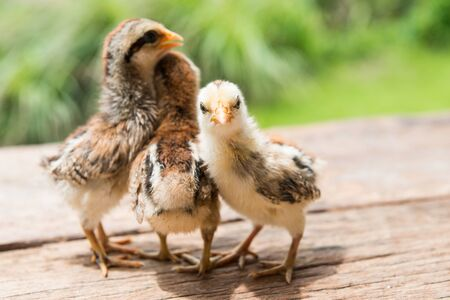 rearing: Babies chick, Little chicken,Rearing small chicks. Poultry farming. Agriculture.