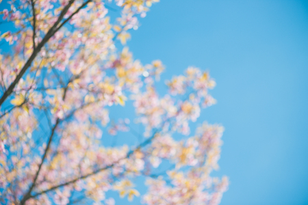 Abstract blurred wild Himalayan Cherry with blue sky and cloud background. Thai sakura blooming during winter in Thailand