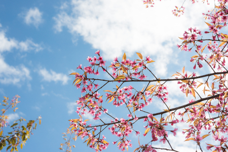 Wild Himalayan Cherry with blue sky and cloud background. Thai sakura blooming during winter in Thailand Stock Photo