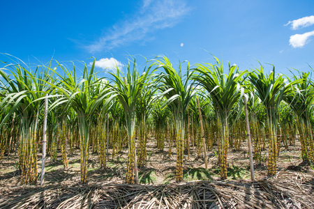 Sugarcane field in blue sky and white rolling cloud in Thailand Stock fotó