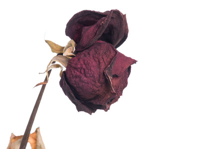 Dried flowers red rose isolated on white background