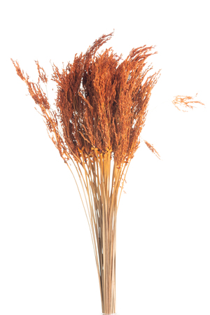 Dry color grass flower for interior decoration isolated on white