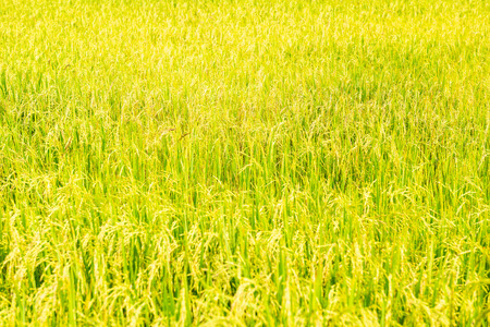 Golden Rice field in local area of Thailand on sunny day Stock fotó