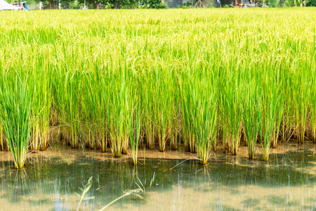 Golden Rice field in local area of Thailand on sunny day 写真素材