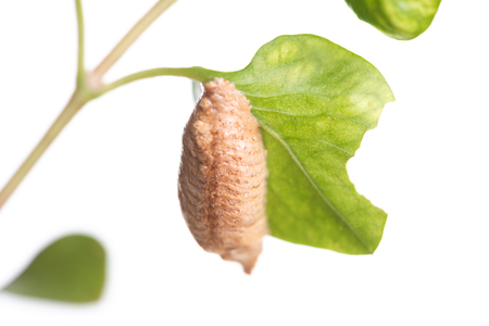 Brown pupa on green leaf isolated on white background 写真素材