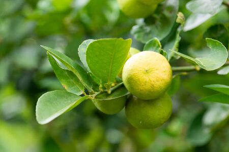 Green limes on a tree. Lime is a hybrid citrus fruit