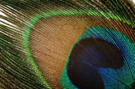 Beautiful exotic peacock feather, micro shot Stock Photo - 8003678