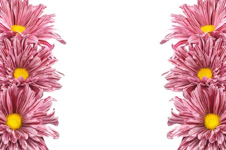 Border of pink chrysanthemum flowers on white background photo