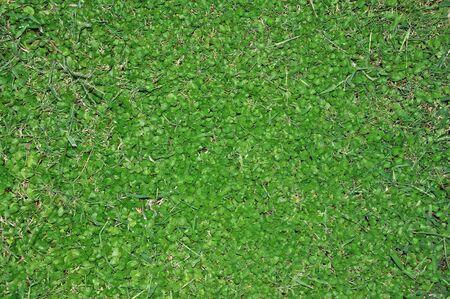 Green grass close up, green background photo