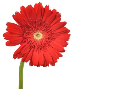 red gerber daisy: Red gerbera on a white background, with clipping path