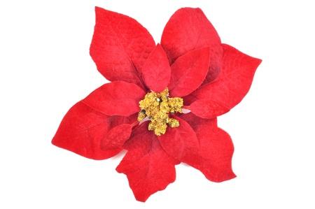flor de pascua: Navidad flor poinsettia sobre un fondo blanco