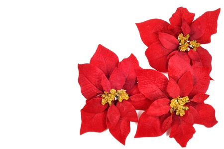 poinsettia: Christmas flower poinsettia  on a white background Stock Photo