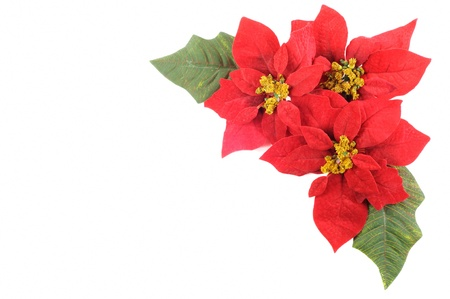poinsettia: Christmas flower poinsettia with leafs on a white background